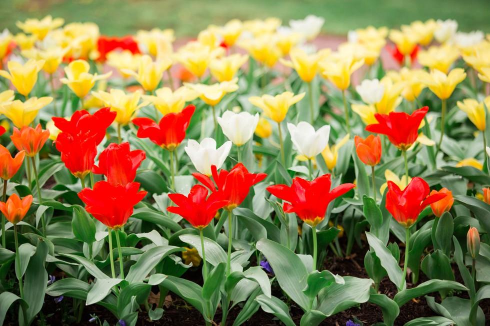 spring tulips Annapolis wedding