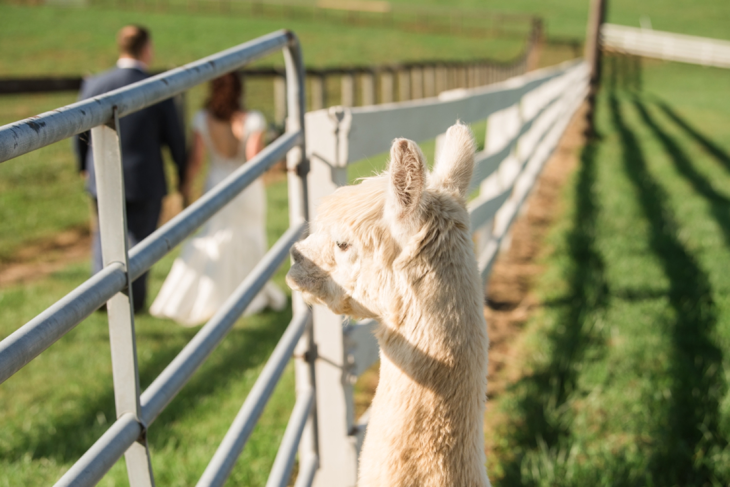 Tusculum Farm micro wedding llama alpaca photos